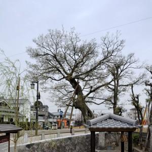 今井町入り口の榎