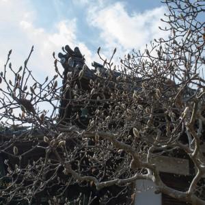 秋篠寺の木蓮
