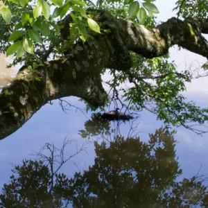 大仏池の浮巣