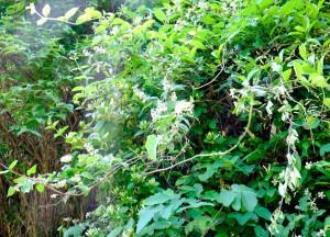 卯の花の道