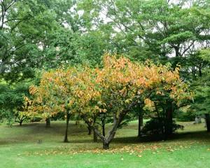 裏年の柿の紅葉
