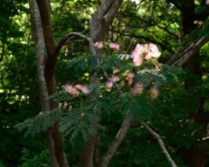 森の中の合歓の花